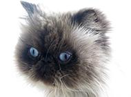 喜马拉雅种猫图片神态呆萌搞笑