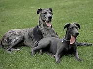 巨型黑色大丹犬草地歇息图片