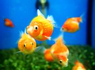 红龙睛金鱼图片可爱小巧