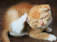 中华田园猫打瞌睡图片大全