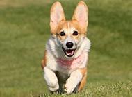 可爱的柯基犬草地奔跑图片