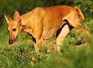 纯种法老王猎犬野外觅食图片