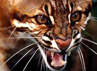 野生金猫表情凶残霸气图片