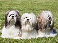 长毛拉萨犬可爱户外特写图片