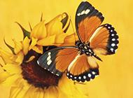 斑斓美丽的小昆虫蝴蝶图片
