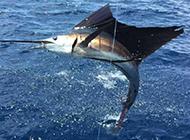 太平洋旗鱼跃出水面图片