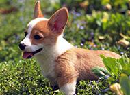 家养宠物小狗高清动物图片