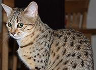埃及猫沉稳老实图片