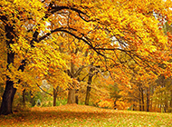 深秋枫树林自然风景图片欣赏