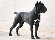 黑色成年卡斯罗犬图片