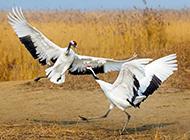 飞翔的丹顶鹤图片高清摄影