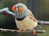 小珍珠鸟羽翼丰满图片