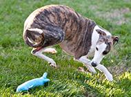 小惠比特犬草丛玩耍图片