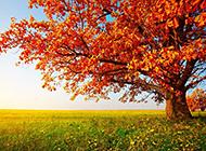 秋天枫树唯美意境风景图片