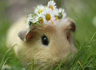 可爱豚鼠唯美壁纸图片大全