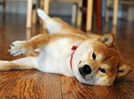 搞笑的秋田犬狗狗撒娇图片