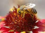 丛中采蜜的小蜜蜂精美高清特写图片
