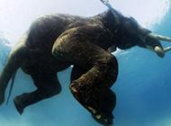 最后一头水中游泳大象:古老文化成过去