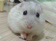 毛茸茸的奶茶仓鼠图片