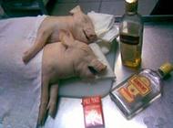 两只猪酒后乱性超搞笑图片