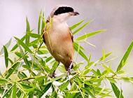 灰背伯劳鸟竹林栖息图片