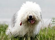 可爱肉呼呼的古牧犬四个月图片