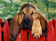 胖乎乎的寻血猎犬图片