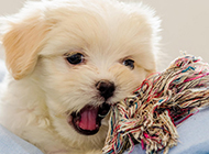 小型拉萨犬可爱卖萌图片大全