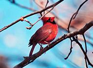 红衣主教鸟高清动物壁纸