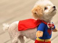 可爱又帅气的超人狗