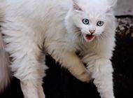 长毛蓝眼白猫凶狠表情图片