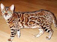 体型匀称的纯种豹猫图片