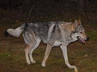 捷克狼犬野外霸气特写图片