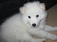 五十多天大白熊犬幼犬图片
