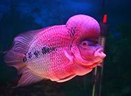 红金花罗汉鱼鳞片艳丽图片