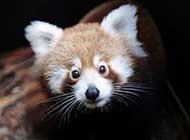 傻乎乎可爱的小熊猫高清组图