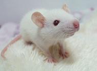 可爱迷人的花枝鼠图片