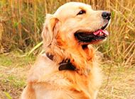 成年雌金毛寻回犬唯美写真图片