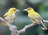 小黄鹂鸟亲密有爱图片
