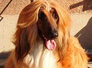 纯种古老阿富汗猎犬图片
