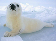 可爱北极海豹图片特写