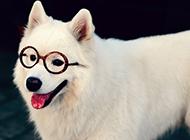 萨摩耶犬可爱卖萌图片