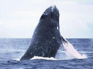 跳跃海平面的鲸鱼图片壁纸
