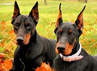 成年杜宾犬唯美写真图片