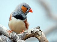 羽翼斑斓的小珍珠鸟图片