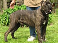 最大的黑色卡斯罗犬图片欣赏