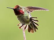 最小蜂鸟轻灵欢快图片