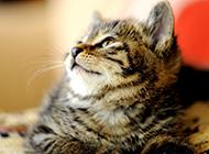 中国狸花猫可爱侧颜图片