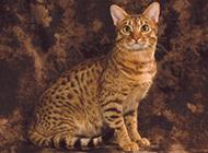 文静优雅的埃及猫图片