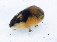 北极旅鼠雪地玩耍图片